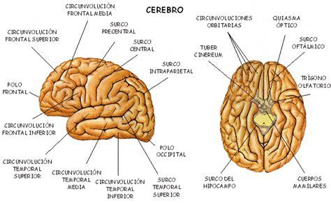imagenes neuroanatomia pdf psicolog 205 a im 225 genes del cerebro y sus partes