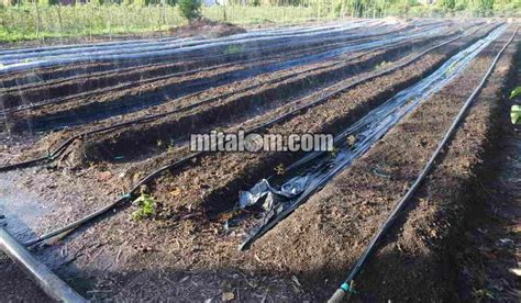 Harga Selang Irigasi 3 12 cara memasang selang drip drip irigasi tetes di lahan