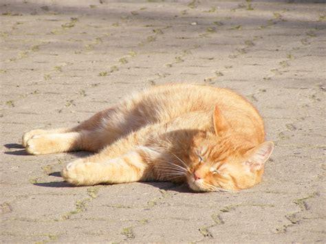 Sleeping Orange Cat orange cat sleeping in the sun cc0 photo