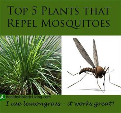 best plant for mosquito repellent easy to grow mosquito repelling plants off the box cooking