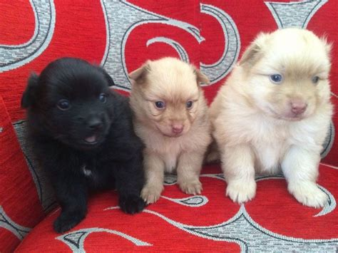pomeranian puppies miami adorable pomeranian puppies animals miami florida announcement 29608