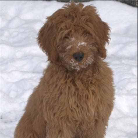 baby haircuts bellingham wa 17 best images about labradoodle golden doodle