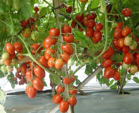 Jenis Bibit Wortel macam macam tanaman hortikultura versatile