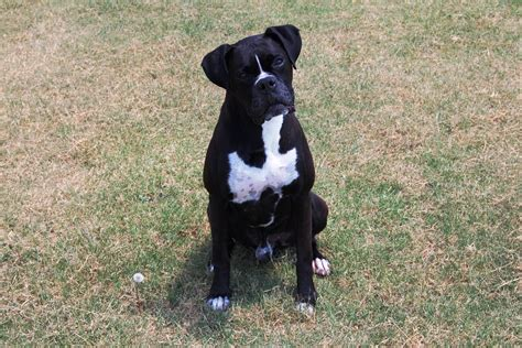 black boxer puppies for sale akc black boxer chion boxer puppy for sale in boxer breeder black boxer puppy