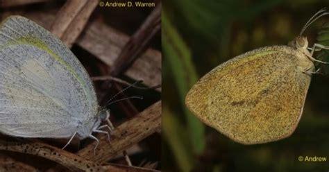 membuat kolase kupu kupu dari daun kering anak kesayangan belajar membuat simulasi kamuflase kupu