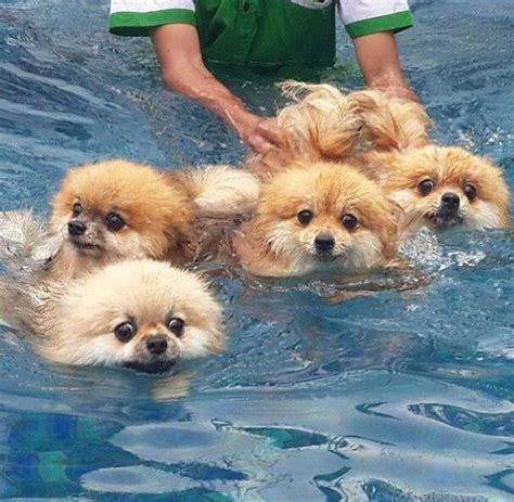 can pomeranians swim 17 best ideas about pomeranian chihuahua on baby dogs a puppy and