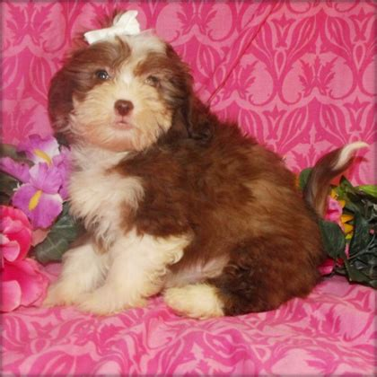 yorkie poo rescue uk yorkie poo rescue image search results breeds picture