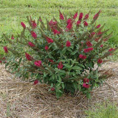 medium sized flowering shrubs buddleia davidii miss molly p 233 pini 232 re brown