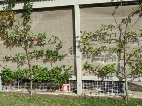 fruit trees melbourne backyard orchards
