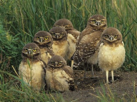owl babies burrowing owl facts habitat diet life cycle baby pictures