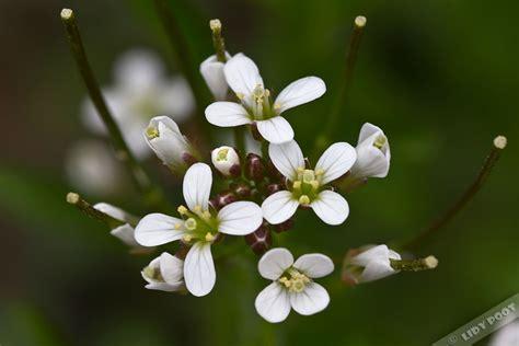 wit blad rode rand witte bloemen vijver bosveldkers cardamine flexuosa witte wilde bloemen