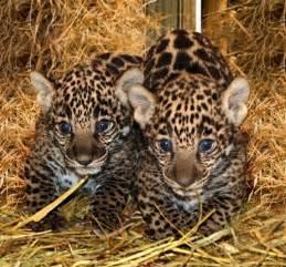 Jaguar Babies White Wolf Jaguar Cubs Born In California