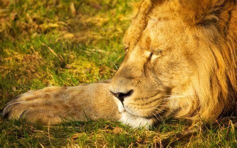 imagenes animales durmiendo fondo de pantalla animales el leon durmiendo wallpapers