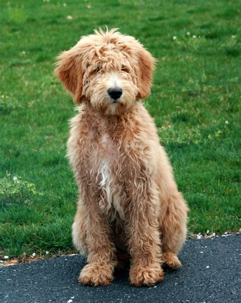 hair cuts for golden doodles different hairstyles for goldendoodles goldendoodle