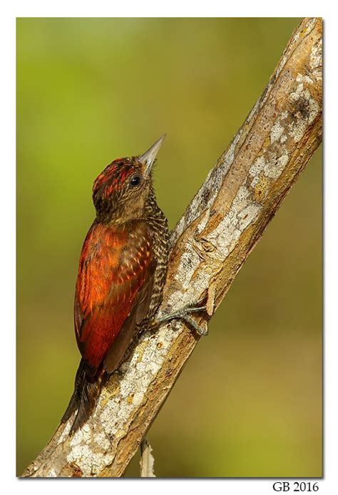 blood colored blood colored woodpecker