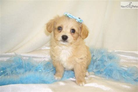 chipoo puppies chi poo chipoo puppy for sale near springfield missouri b9b02e56 a981