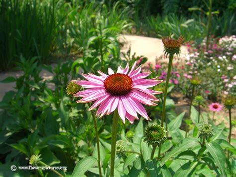 coneflower plant picture