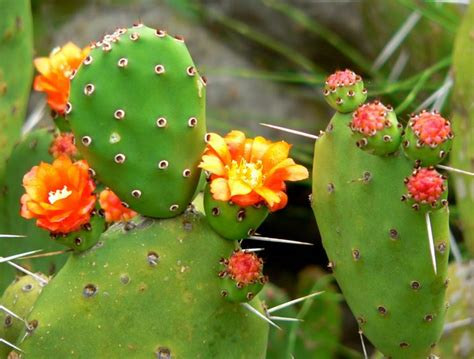 fiori di ficodindia fico d india opuntia opuntia piante grasse fico d