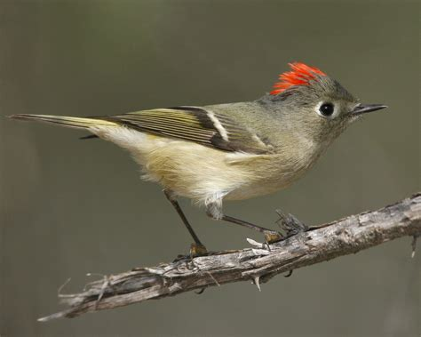 nc mountain birds ruby crowned kinglet