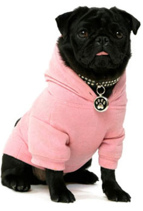 pugs wearing clothes pug clothes at the shop chihuahua clothes