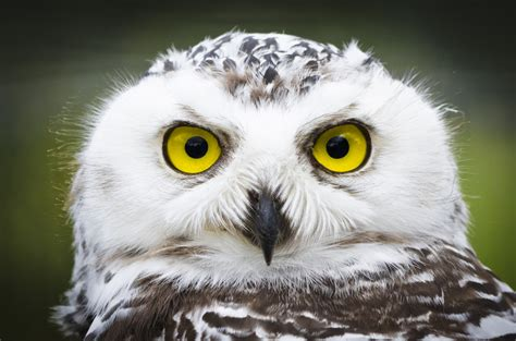 snowy owls invade the u s in once in a lifetime migration