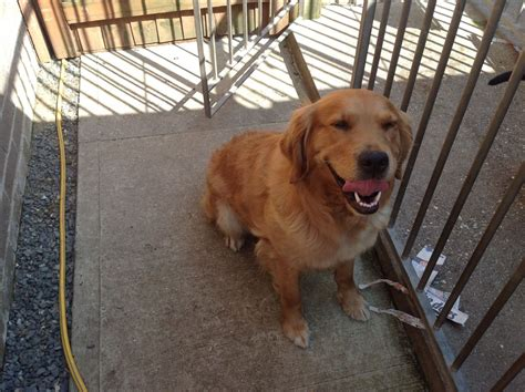 fully trained golden retriever for sale working golden retriver two and half fully trained norfolk pets4homes