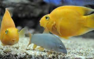 blood parrot cichlid freshwater aquarium fish wallpaper