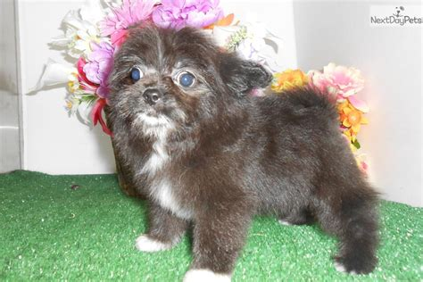 porkie puppies pomeranian yorkie mix breeds picture