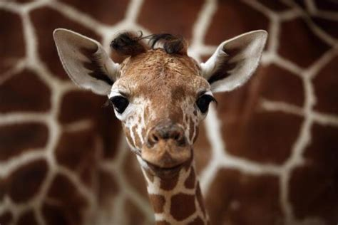 animal c section can giraffes have c sections april giving birth on live