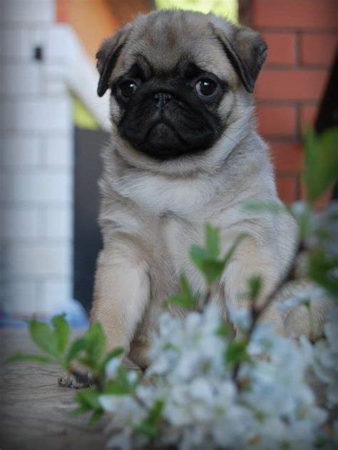 loca the pug lyrics 1233 best pug puppies images on baby pugs pug puppies and
