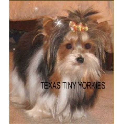 yorkie puppies for sale in denton tx teacup maltese puppies for sale in abilene iob forex rates