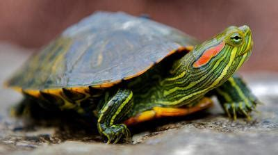 montana turtles   collected  texas release state