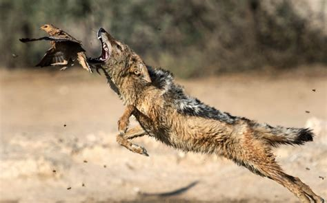 how to catch pigeons for working up an appetite hungry jackal tries and fails to catch birds for dinner