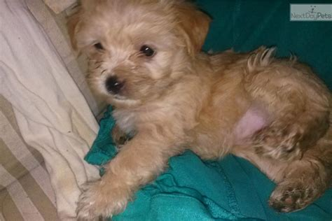 yorkies for sale near me yorkiepoo yorkie poo for sale for 300 near flagstaff sedona arizona b39a7b4e c2c1
