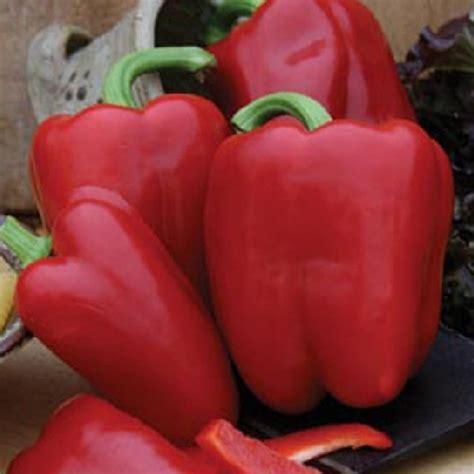 benih paprika jolly rosso 1 biji non retail bibitbunga