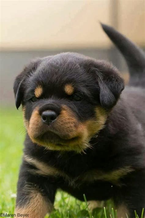 rottweiler with pointy ears 1376 best images about rottweiler on best dogs rottweiler and german