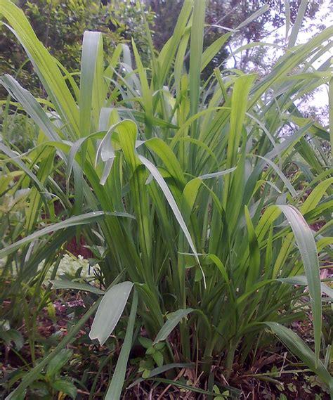 wallpaper bunga rumput photo tumbuhan manfaatnya gambar rumput gajah untuk