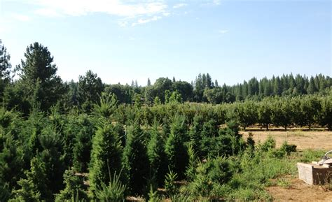 christmas tree places apple hill ca cut and choose tree farm in the of apple hill california