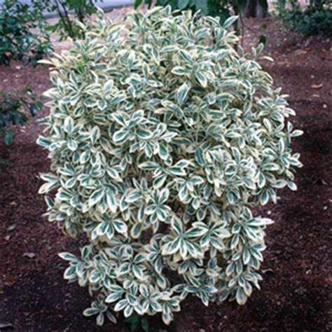 Wholesale Suppliers Home Decor by Euonymus Japonicus Silver Queen Euonymus