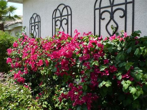 Bougainvillea Trellis Ideas best 25 bougainvillea trellis ideas on wall trellis mediterranean decorative boxes