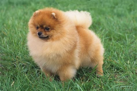 how to tell if your is a pomeranian the ultimate guide to dreams and their meanings
