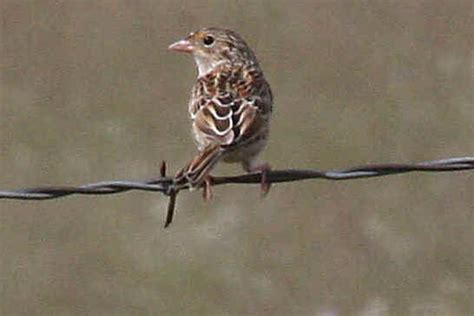 birds of southern arizona arizona birds from flycatchers to buntings during focus on nature tours