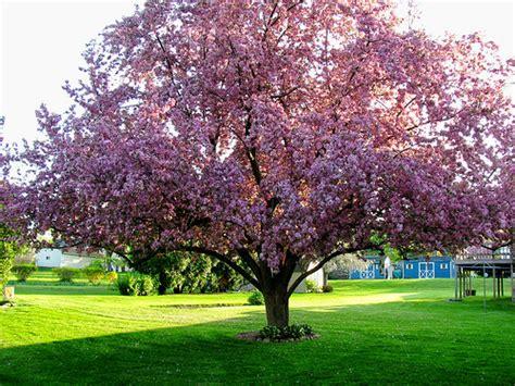 cherry blossom tree facts cherry blossom tree in geneva flickr photo sharing