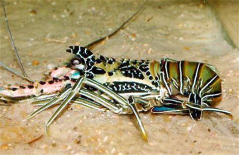 Bibit Udang Lobster budidaya lobster laut di kolam bebeja