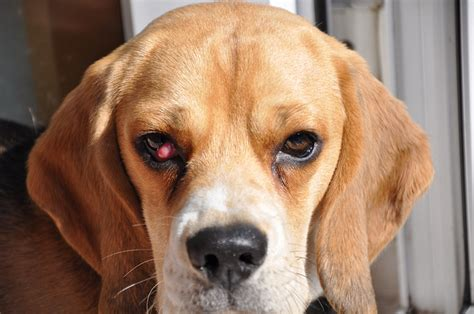 cherry eye in with beagle 5 reasons to get cherry eye checked for your pet