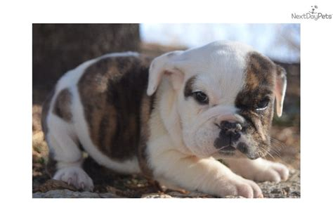 grey bulldog puppy gray bulldog for sale breeds picture