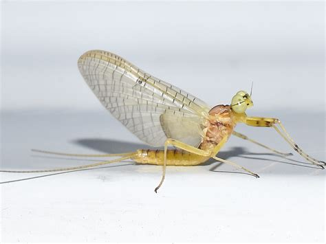 of a mayfly pest guide how to get rid of mayflies