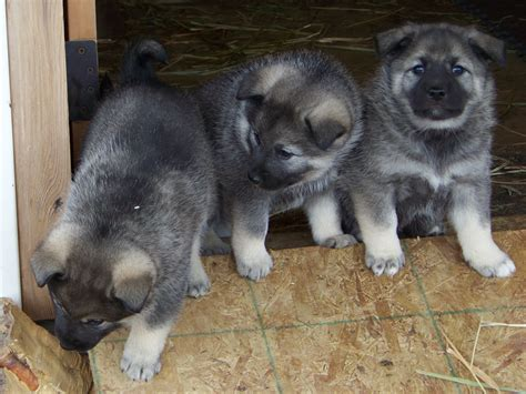 elkhound puppy elkhound info temperament puppies pictures