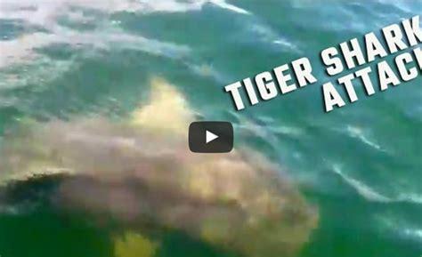 shark bites boat tiger shark bites boat off alabama coast tracking sharks