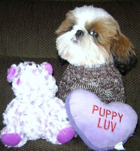 shih tzu puppies in houston houston is to resist puppy pictures daily
